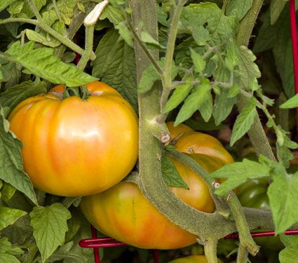 Tomato Gold Medal Yellow for Spring 2017