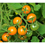 Tomato Sungold for Spring 2017
