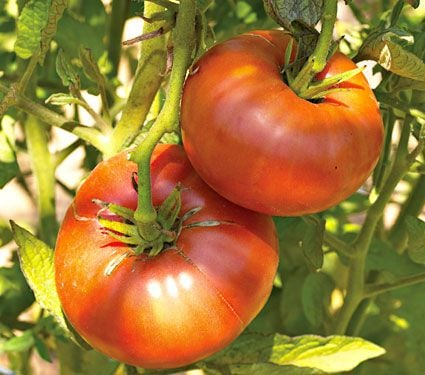 Tomato Brandywine Red for Spring 2017
