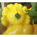 Summer Squash Sunburst