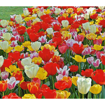 Next Generation Perennial Tulip Mixture
