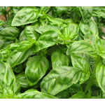 Basil Caesar for Spring 2017