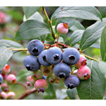 Bounty of Blueberries Collection