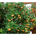 Calamondin Orange in 1 gallon plastic pot