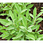 Culinary Sage (Salvia officinalis)