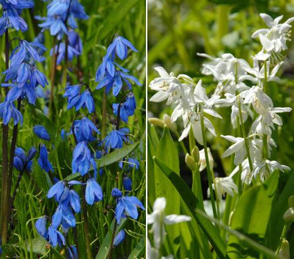 Scilla Blue and White Mixture