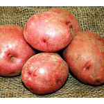 Potato Red LaSoda, bag of 10 minitubers