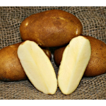 Potato Russet Norkotah, bag of 10 minitubers