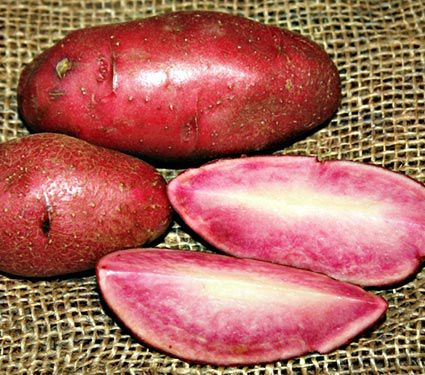 Potato Red Thumb, bag of 10 minitubers