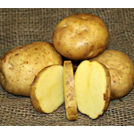 Potato Yellow Finn, bag of 10 minitubers