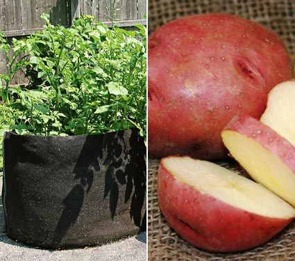 Potato Dark Red Norland, bag of 10 minitubers