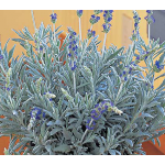 Lavandula Goodwin Creek Grey