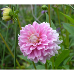 Dahlia 'Offshore Dream'