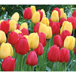 Strike Up the Band Perennial Tulip Collection