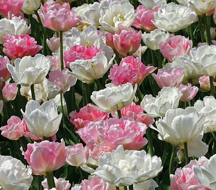 Ambrosia Double Tulip Collection