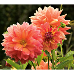 Dahlia 'Ace Summer Sunset'