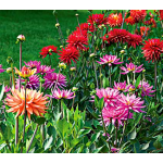 The Karma Dahlia Collection - 4 tubers