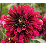 Dahlia 'Purple Haze'