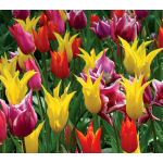 The Corps de Ballet Tulip Mix
