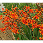 Crocosmia Bright Eyes