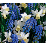 Wanderlust - Narcissus & Muscari Mixture