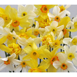 Narcissus Heirloom Mixture