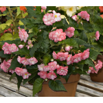 Begonia On Top® Pink Halo