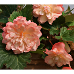 Begonia Scentiment® Sunrise