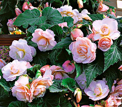 Begonia Scentiment® Blush
