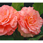 Begonia 'Sugar Candy' Blackmore & Langdon