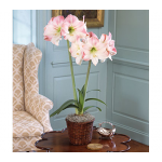 Amaryllis 'Apple Blossom,' one bulb in a woven basket