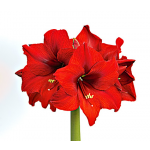 Early-Blooming South African Amaryllis