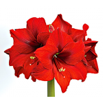 Amaryllis Double Six