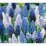 Muscari Mixture - Singing the Blues