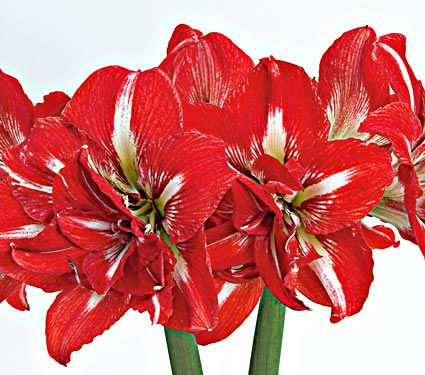 Amaryllis Rock 'n Roll®