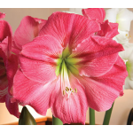 Amaryllis 'Candy Floss'