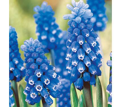 Muscari Dark Eyes