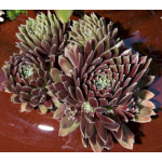 Sempervivum Purple Passion