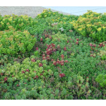 Sedum Tile® Color Splash