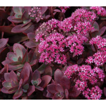Sedum SunSparkler® 'Firecracker'