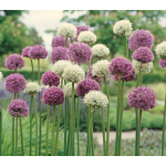 Allium Collection Garden Globes