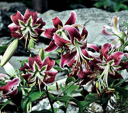 Lilium Black Beauty