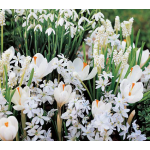 White Flower Collection of 4 Early Spring Bulbs