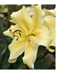 Lilium Big Brother®