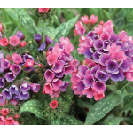 Pulmonaria 'Raspberry Splash'