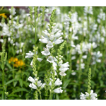 Physostegia virginiana Miss Manners