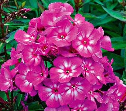 Phlox Candy Store® Grape Lollipop
