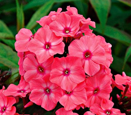 Phlox Candy Store® Coral Creme Drop