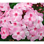 Phlox Candy Store® Cotton Candy