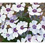 Phlox subulata 'North Hills'